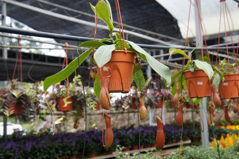 Ist tropische Kannenpflanzen des Nepenthes alias, eine Klasse von Fleisch fressenden Anlagen stockbild