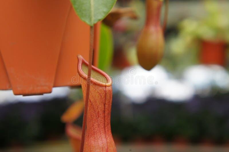 Ist tropische Kannenpflanzen des Nepenthes alias, eine Klasse von Fleisch fressenden Anlagen lizenzfreie stockfotos