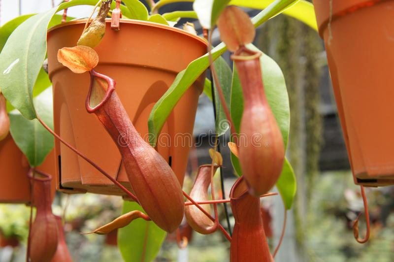 Ist tropische Kannenpflanzen des Nepenthes alias, eine Klasse von Fleisch fressenden Anlagen lizenzfreie stockfotografie