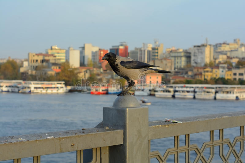 Istanbul Crow stock photo
