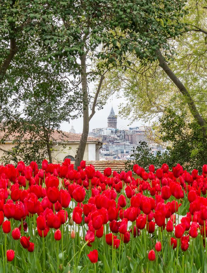 Istanbul landscape, view of the Galata Tower through tree branches and bright red tulips in Gulhane Park.  royalty free stock images