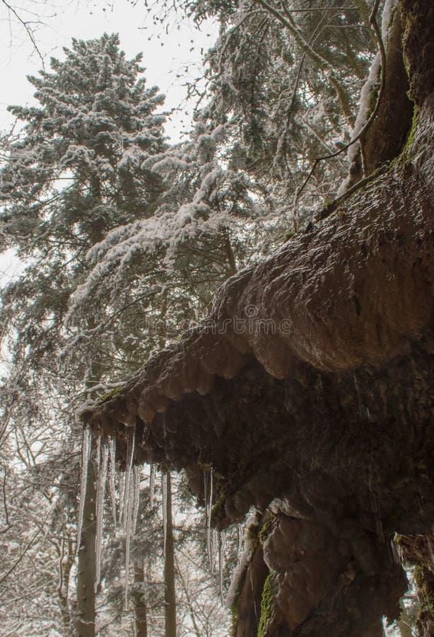 Istapp och nytt insnöat en skog med högväxta träd i Schweiz arkivbild