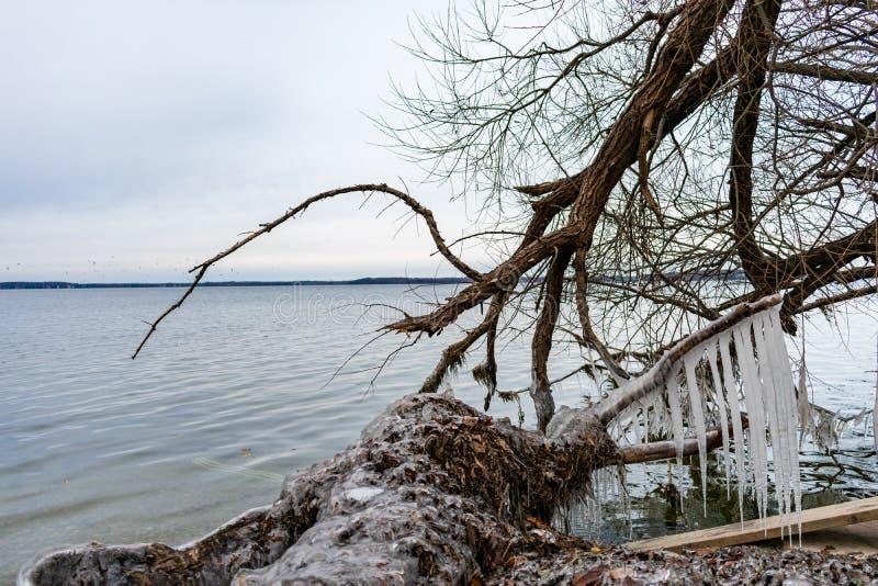 Istappar på gör bar träd och loggar in kusten av sjön Mendota i Madison Wisconsin royaltyfri fotografi