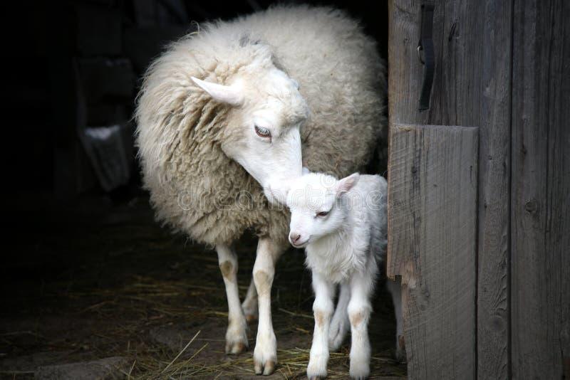 Istinto materno. Pecore ed agnello. fotografia stock