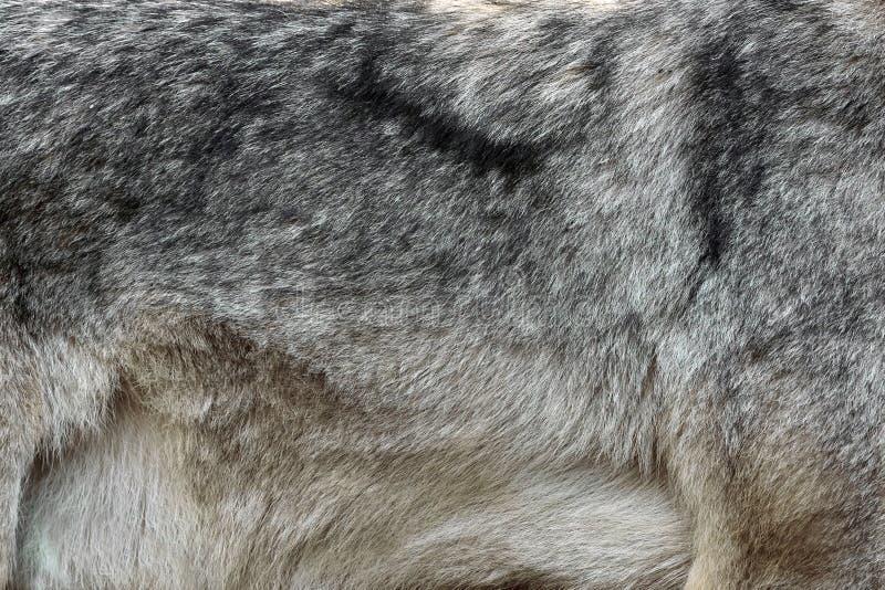 Istna tekstura srebny wilczy futerko obrazy royalty free