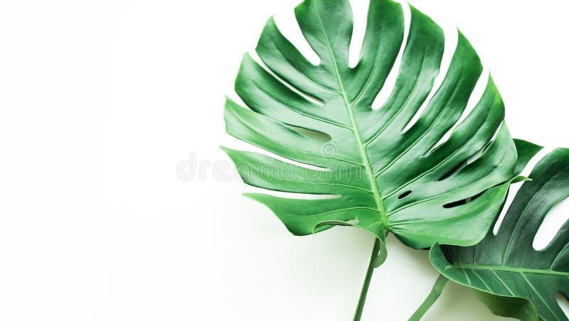 Istni monstera liście ustawiający na białym tle Tropikalny, botaniczny fotografia royalty free