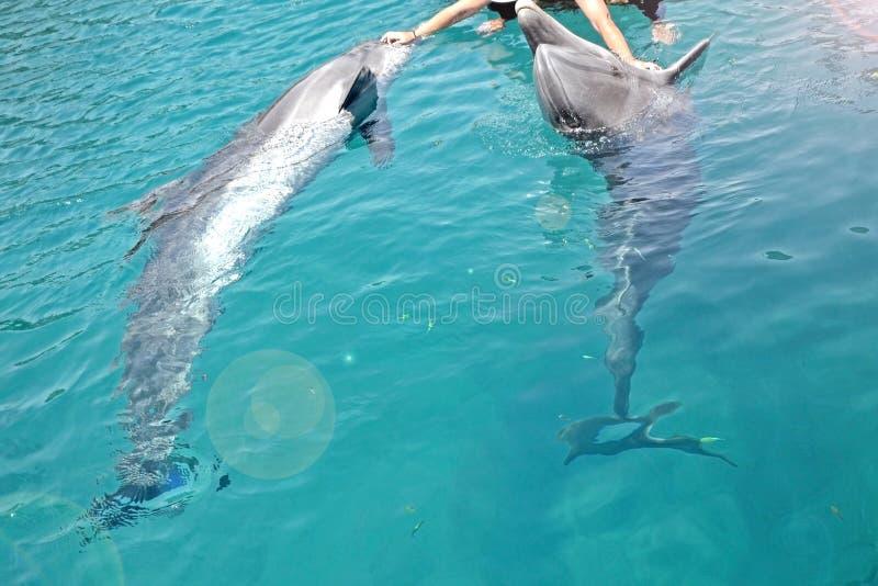 Istota ludzka delfiny, ręki, słoneczny dzień z figlarnie zwierzętami, konserwacja i ochrona zwierzęta w delfinie i, refują w Izra obraz stock