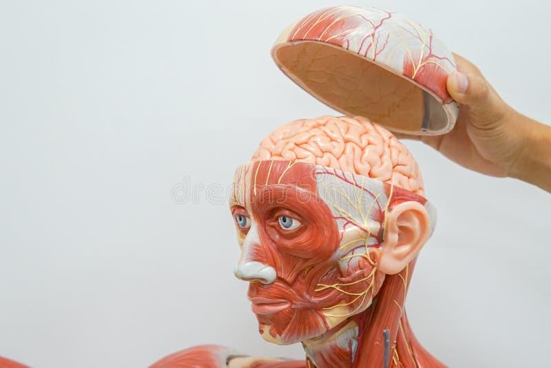 Istota ludzka wręcza anatomię zdjęcie royalty free