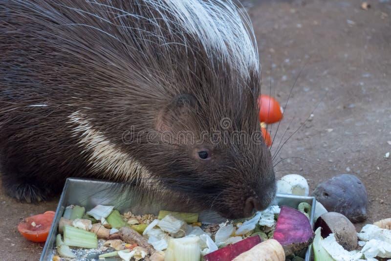 Istrice che mangia l'esterno della barbabietola nel recinto chiuso fotografie stock