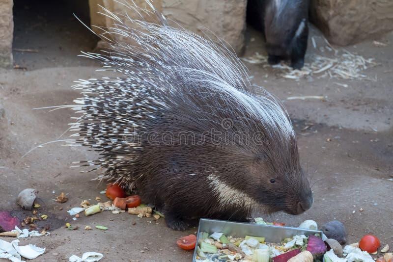 Istrice che mangia l'esterno della barbabietola nel recinto chiuso immagini stock libere da diritti