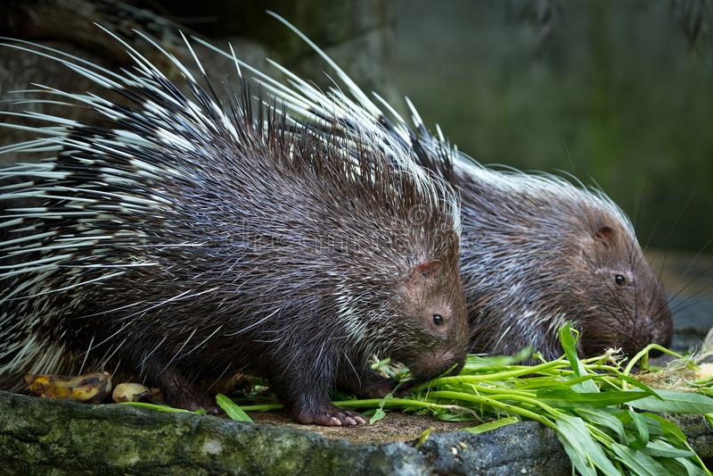 Istrice malese, brachyura di Hystrix mangiante alimento fotografia stock libera da diritti