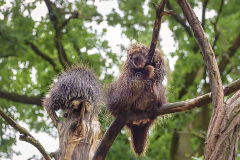 Istrice nordamericano due, istrice canadese o salita comune dell'istrice sull'albero fotografia stock