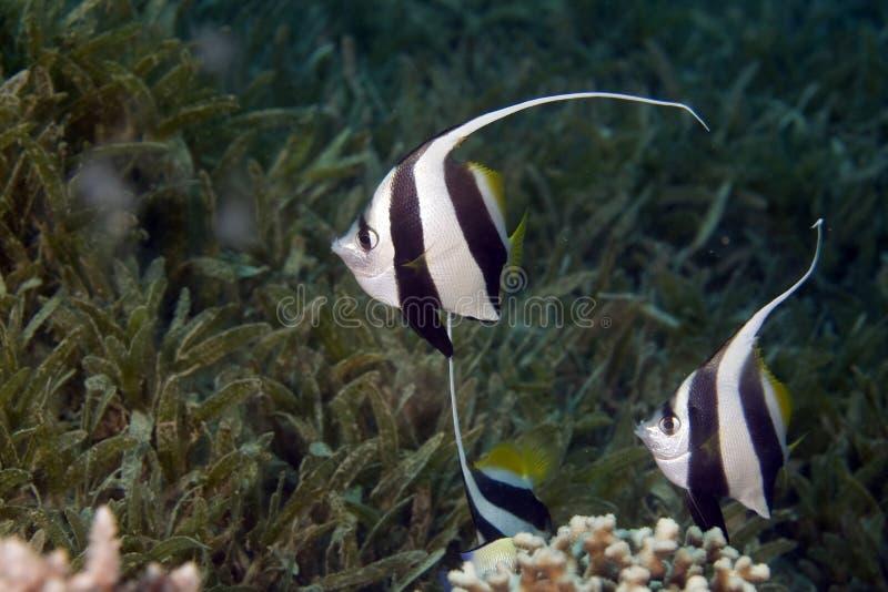 Istruendo bannerfish (diphreutes di heniochus) immagini stock