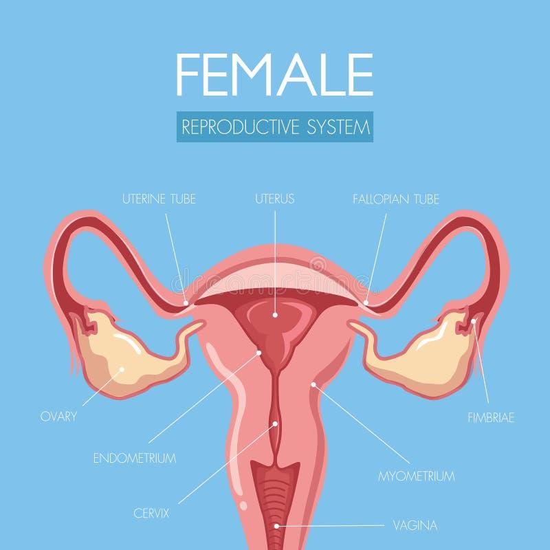 Istruisca con questa anatomia meravigliosamente progettata dell'utero illustrazione di stock