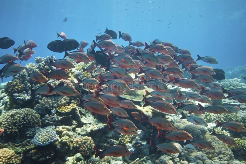 Istruzione dei pesci, grande scogliera di barriera fotografia stock libera da diritti