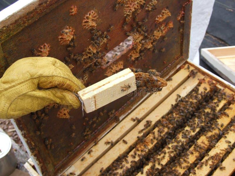 Istruzione dell'ape mellifica immagini stock