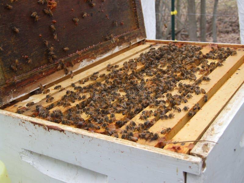 Istruzione dell'ape mellifica fotografie stock