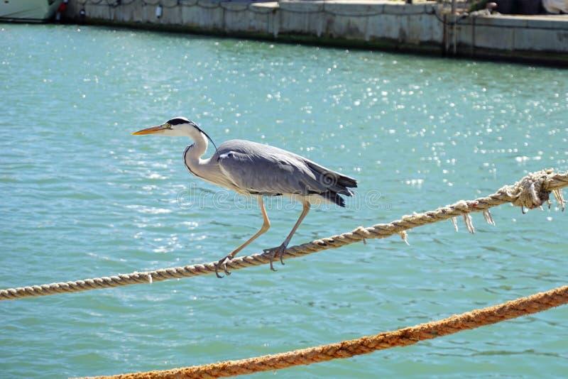 Itália, Toscânia, Maremma, della Pescaia de Castiglione, uma garça-real cinzenta anda ao longo do canal do porto, entre turistas imagem de stock