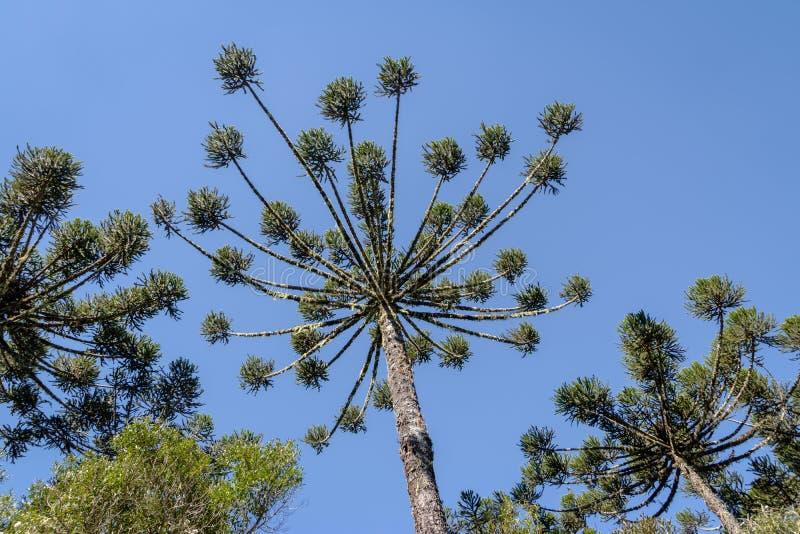 Itaimbezinho峡谷南洋杉angustifolia巴西杉木在Aparados da Serra国家公园-南里奥格兰德州,巴西的 免版税库存照片
