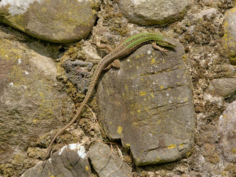 Italan Wandeidechse (Podarcis siculus) lizenzfreie stockbilder