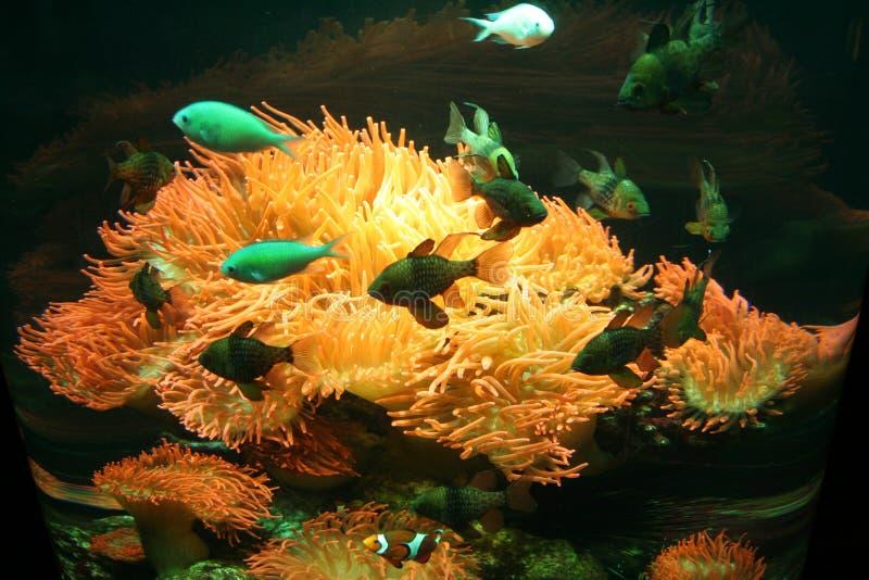 Italia. Génova. Anémona y pescados en un acuario foto de archivo