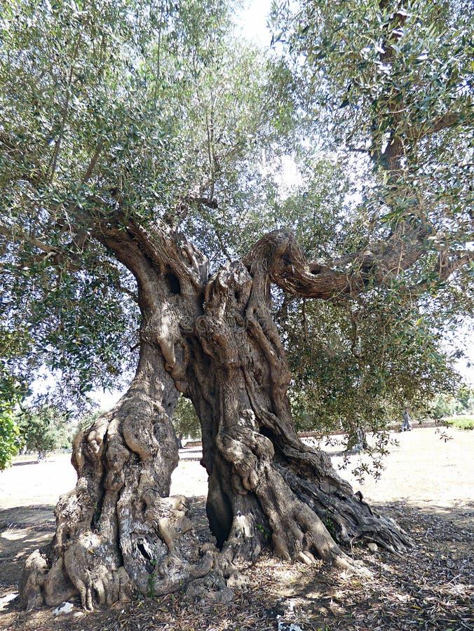 Italia, Puglia, Lecce, Melpignano, el campo con sus olivos centenarios imagen de archivo libre de regalías