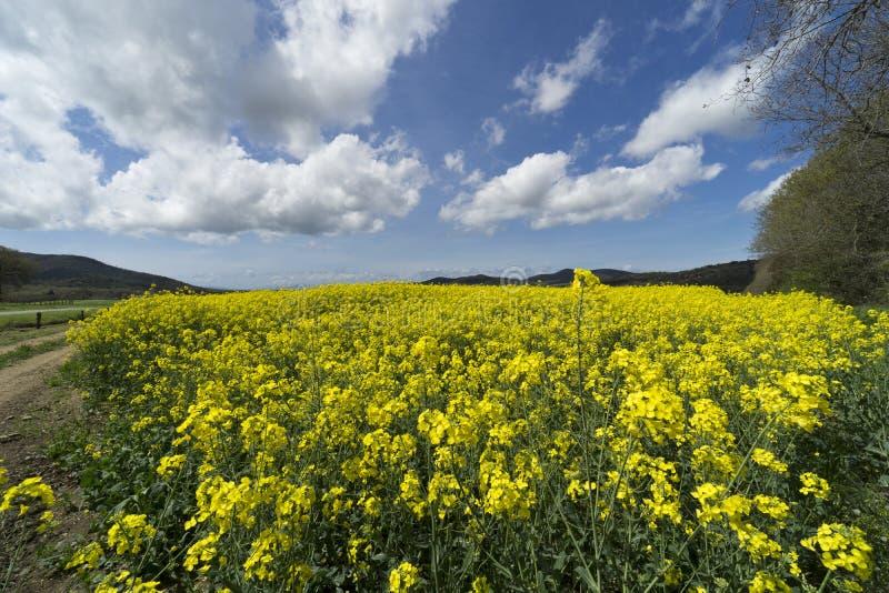Italia, Toscana, Grosseto, Pian Alma, vista panorámica de un cultivado en los campos con canola fotografía de archivo
