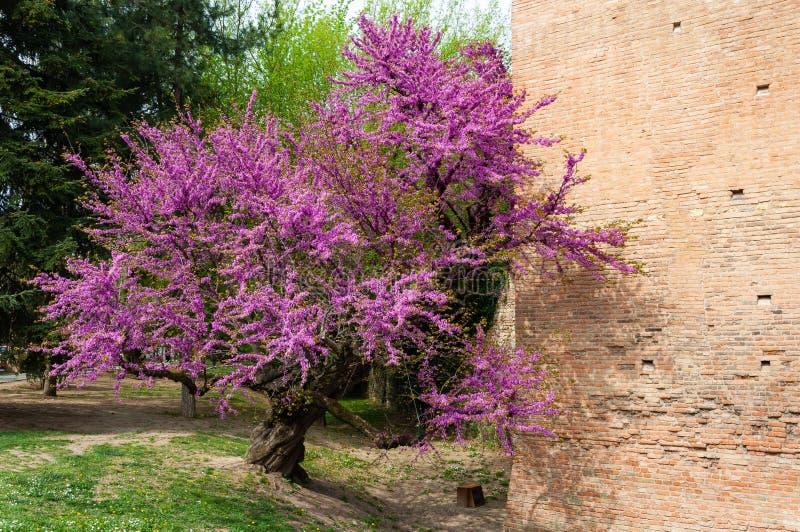 Italiaans middeleeuws kasteel: Detail van bloeiende installatie in de lente stock fotografie