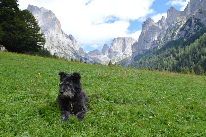 Italiaanse herdershond met bergen stock foto