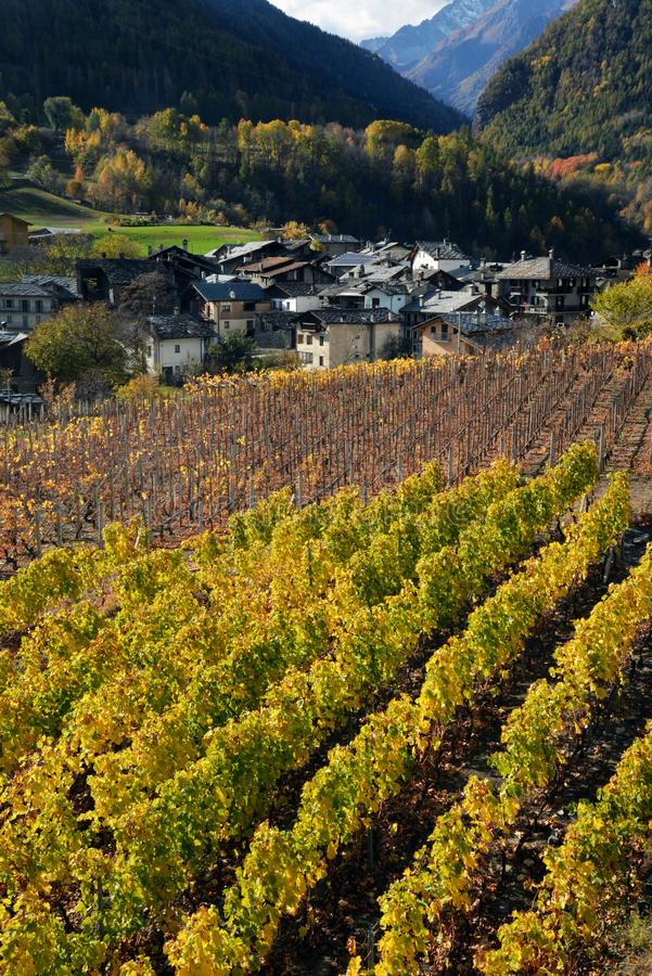 Vineyard of the alpine mountain village of Introd, Aosta, Italy royalty free stock image