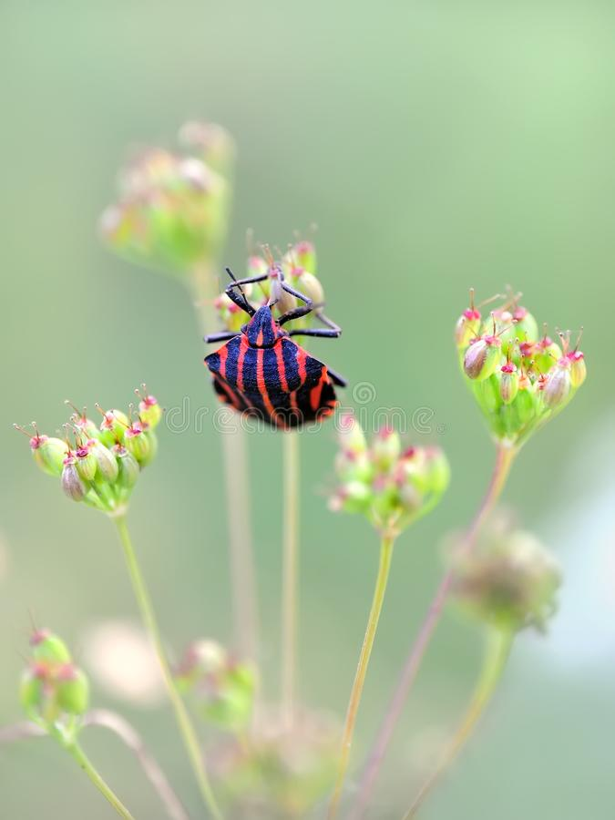 Italian black and red striped bug Graphosoma Lineatum stock photo