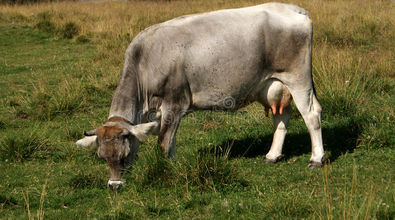 Download Italian Cow stock photo. Image of open, graze, countryside - 11844428