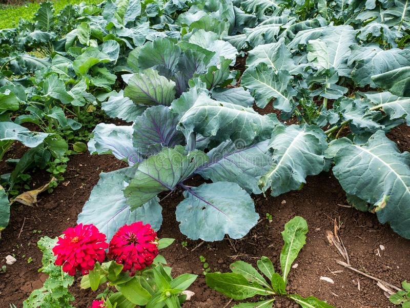 Italian garden cultivated with natural methods. In addition to vegetables there are flowers for biological control, in addition to vegetables there are flowers stock image