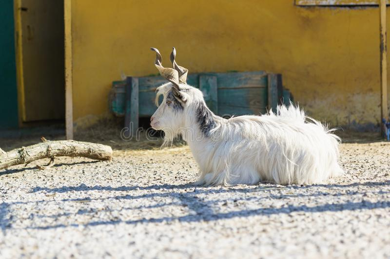 Italian goat breeds of Girgentana with beautiful twisted horns - a descendant of the horned wild goat of mountainous Afghanistan. Lies on the agricultural yard stock images