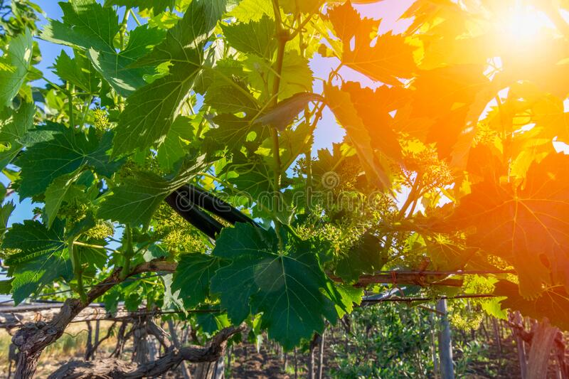 Italian Grapes Plantation in May with Sunflare at Sunrise on Blurred Background royalty free stock photo