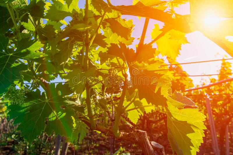 Italian Grapes Plantation in May with Sunflare at Sunrise on Blurred Background stock photo