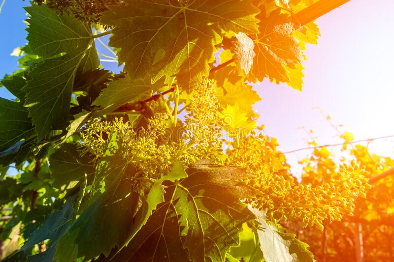 Italian Grapes Plantation in May with Sunflare at Sunrise on Blurred Background stock images