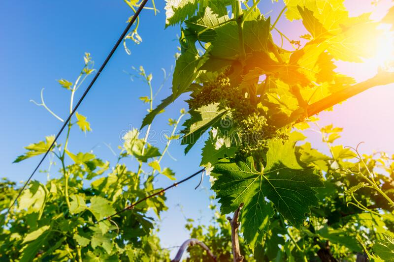 Italian Grapes Plantation in May with Sunflare at Sunrise on Blurred Background stock photography