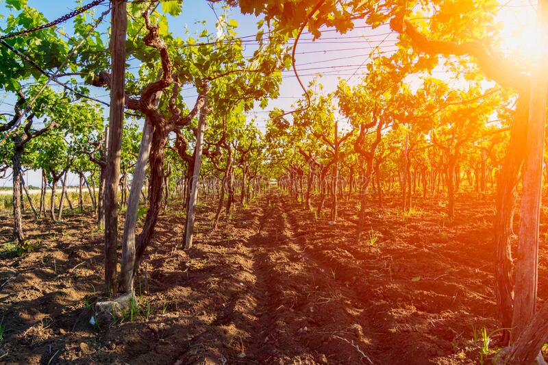 Italian Grapes Plantation in May with Sunflare at Sunrise on Blurred Background royalty free stock image