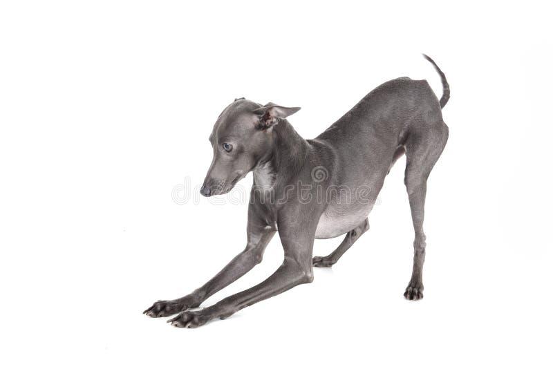 Italian greyhound blue color royalty free stock photos