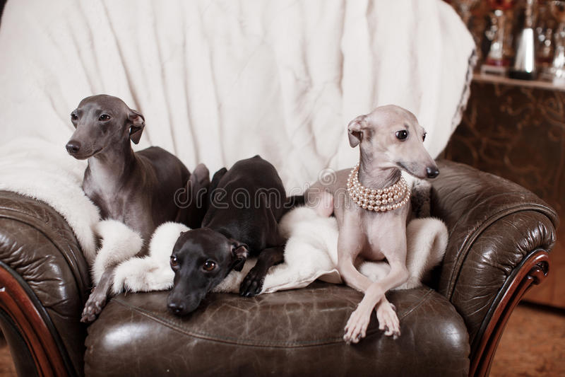 Italian greyhound dog lying on the couch stock image