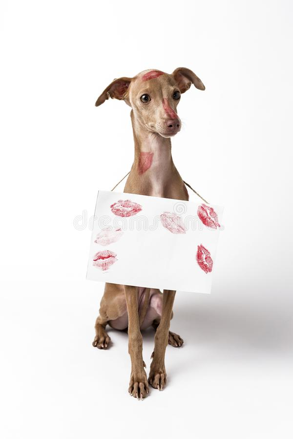 Italian greyhound dog with red lips kiss marks stock photography
