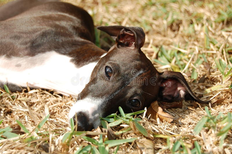 Italian Greyhound in Grass royalty free stock photo