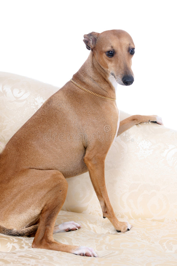 Italian Greyhound sitting on couch royalty free stock images