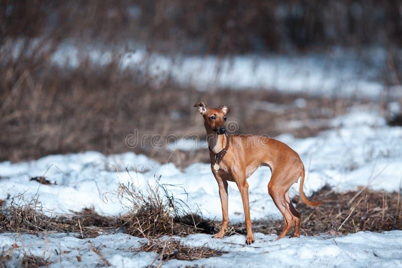 Italian greyhound royalty free stock photos