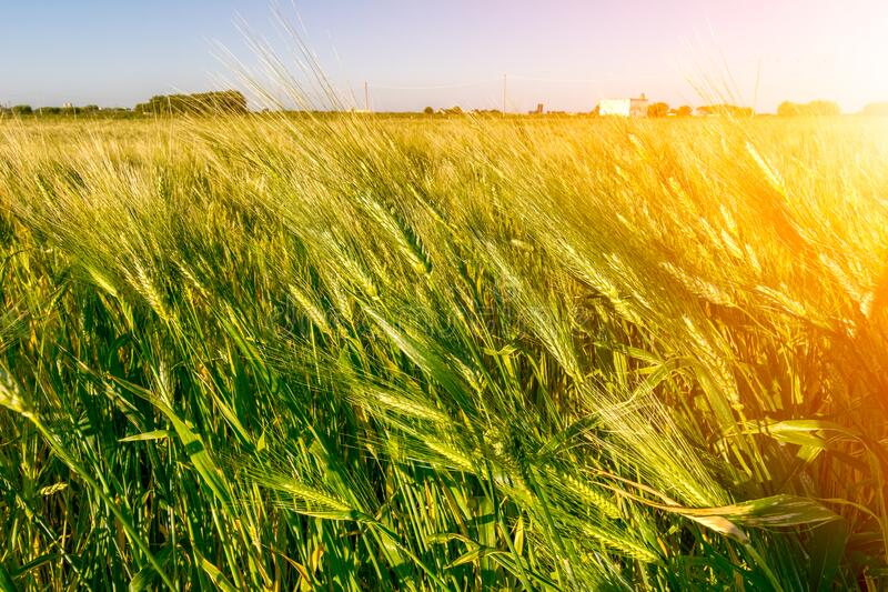 Italian Hay plantation at Sunrise with Sunflares on Blurred Background royalty free stock images