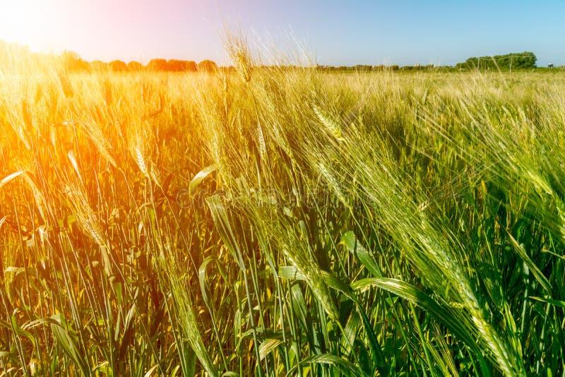 Italian Hay plantation at Sunrise with Sunflares on Blurred Background royalty free stock image