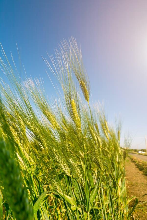 Italian Hay plantation at Sunrise with Sunflares on Blurred Background stock photography