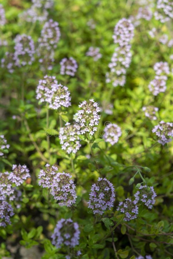 Italian kitchen aromatic herb thyme growing in garden, nature background stock photo