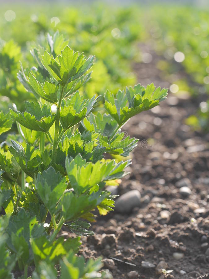 Italian Parsley gardening royalty free stock image